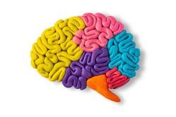 Clay model of brain anatomy on white background