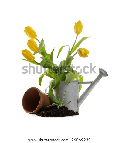 clay pot, iron watering can, soil, seedling, tulips on white background