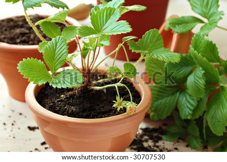 Clay starter pots with young strawberry plants ready for the garden.  Macro with extremely shallow dof. #30707530