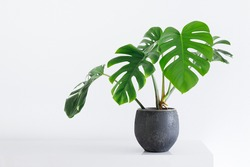 clean image of a large leaf house plant Monstera deliciosa in a gray pot on a white background