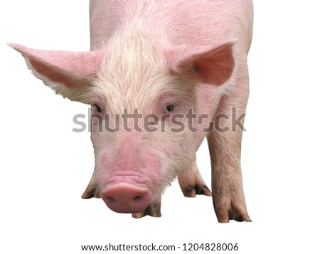 Clean, pink pig on white background