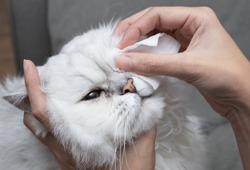 Cleaning Persian Chinchilla Cat's eyes with cotton pad. Cat's Eyes Healthy. Prevention of eyes's problem