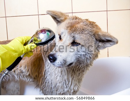 Cleaning the dog, purebred Akita Inu in bath