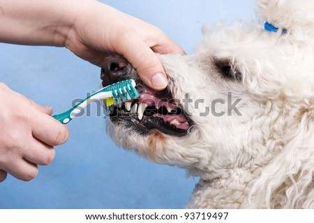 cleaning the teeth of a dog