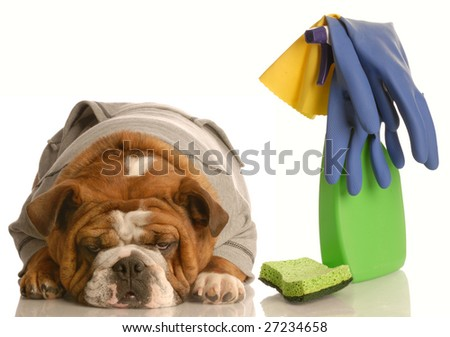 cleaning up after a bad dog - english bulldog with spray bottle and sponge