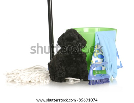 cleaning up after new puppy - american cocker spaniel sitting beside cleaning products on white background