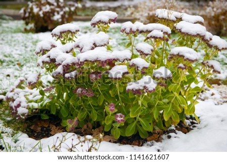 Cleansing prominent, or sedum remarkable (Sedum spectabile). First snow