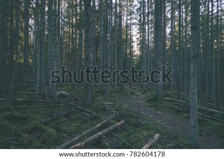 clear morning in the woods. spruce and pine tree forest with trunks, dark shadows with sun rays - vintage film look #782604178