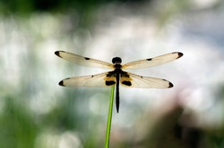Clear wings dragonfly, shown details on wings.
