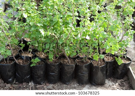 clearance sale of currants sprouts in pots during spring