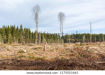 Clearcutting in a spruce tree forest