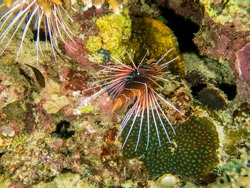 Clearfin Lion Fish