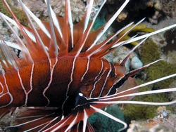 Clearfin Lionfish (Pterois radiata) in the Red Sea