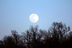 Clearly visible large full Moon on clear sky background rising above dense trees without leaves at local forest at sunset on warm spring day
