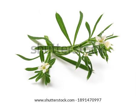 Cleavers (Galium aparine) isolated on white background Stock photo ©