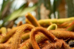 Cleistocactus winteri commonly known as golden rat tail cactus