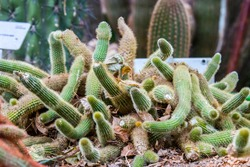Cleistocactus winteri is a succulent of the family Cactaceae. Its common name is the golden rat tail.  It has many short bristly golden spines that literally cover the surface of the stems.