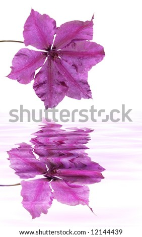 clematis and it's reflection