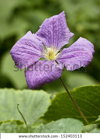 Clematis blue flower on the flowerbed close up
