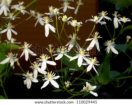 Clematis is a genus of about 300 species within the buttercup family Ranunculaceae