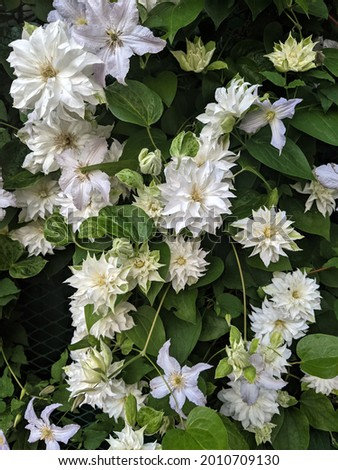 Clematis 'Maria Skłodowska Curie' is a magnificent terry, spherical, white flower. Photo stock ©