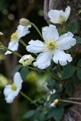Clematis montana 'Prosperity' a climbing clematis with white flowers