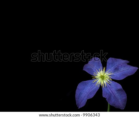 Clematis on black. - stock photo