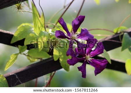 Clematis or Leather flower easy care perennial vine plants open blooming dark purple flowers with leathery petals and bright yellow center surrounded with green leaves growing over wooden fence