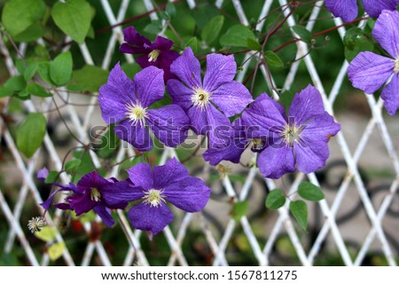 Clematis or Leather flower easy care perennial vine plants open blooming purple flowers with leathery petals and bright yellow center surrounded with small leaves growing between white metal fence