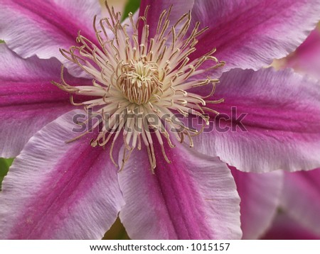 Clematis purple-pink close-up