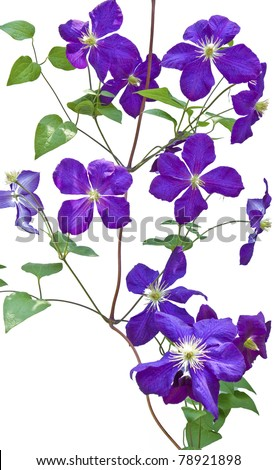 clematis vines on white background