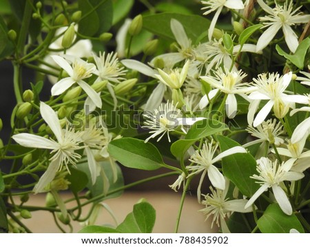 Clematis vitalba is a climbing shrub with branched, grooved stems and scented white flowers. It also known as old man's beard and traveller's joy. #788435902