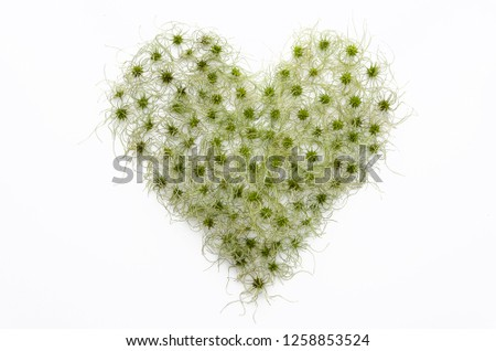 clematis vitalba isolated flat lay, top view. Funny hairy seeds in the shape of a heart. Love, heart, valentines day #1258853524