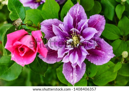 Clematis with Rose, Pink Rose #1408406357