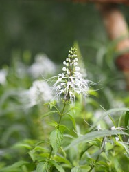 Cleome hassleriana, spider flower, spider plant, flowering plant in genus Cleome of the family Cleomaceae, Capparaceae white color flowers in garden background