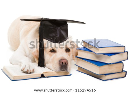 clever dog, pale-yellow labrador retriever with hat of the bachelor reading books on  isolated white background - stock photo