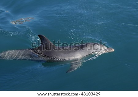 Clever dolphin swimming in blue swimming in blue turquoise water,beauty