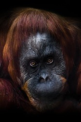 Clever intellectual face of an orangutan with an ironic look and a half smile, dark background.
