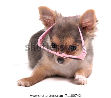 Clever Looking Chihuahua Puppy with Pink Glasses Looking at Camera