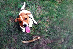 Clever obedient loyal dog Jack Russell Terrier brought a stick to the owner. Command for a dog aport. Dog training concept. Blurred image, selective focus.