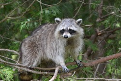 Clever Raccoon tries to use the branches of a cedar tree to reach the bird feeder