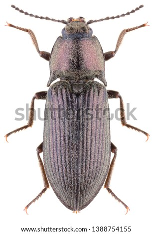 Click beetle Selatosomus gravidus isolated on white background. Dorsal view of click beetle.