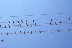 Cliff swallow birds on telephone wires. Blue sky background. Petrochelidon.