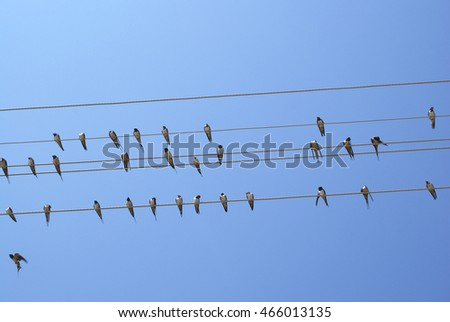 Cliff swallow birds on telephone wires. Blue sky background. Petrochelidon. #466013135