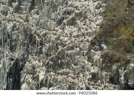 Cliff with a Guillemot colony and white from bird droppings