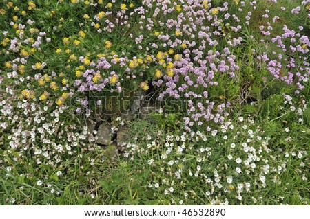 Clifftop flowers Kidney Vetch, Sea Campion, and Thrift or Sea Pink