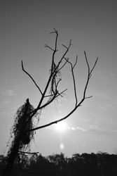 Climate change is for real, a minimal monochrome image with no leaves and dying each day with increase in pollution and due to the man made techniques use of pesticides and chemical