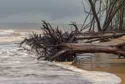 Climate Change Photo - Mature tree uprooted and lying on beach due to heavy cyclonic winds and soil erosion caused by rising sea level due to global warming, disturbing the ecology of coastal areas