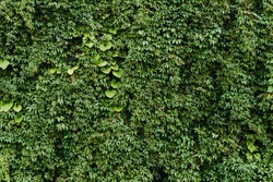 Climber plant background. Creeper plant texture. Gedge bush pattern. Green natural summer wall. Home outdoor decoration.