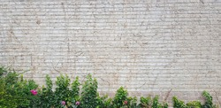 Climber plant on white  cement or brick wall background,ivy tree wall or fence.ivy is climbimg on a brick wall.